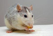 Cómo Hacer Veneno Casero Para Ratas