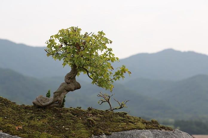 cómo hacer un bonsai casero